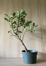 Green Gem Indoor Pre Bonsai Big Thick Trunk Glossy Green Leaves 🌿 Evergreen