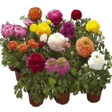 Ranunculus-Bloomingdale Mixta - 10 Semillas