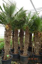 Trachycarpus fortunei Hanfpalme 30-40cm Stamm 140cm-160cm Höhe