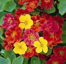 Nasturtium Jewel Mix 25 seeds * Fast & easy grow *Edible* Ornamental CombSH C16