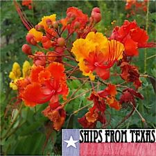 Caesalpinia Pulcherrima, Pride Of Barbados, Mexican Bird Of Paradise, 50 Seeds