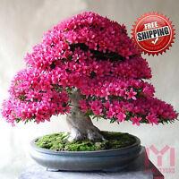10 x Japanese Red Cherry Blossom seeds Sakura Tree Exotic rare Viable Seeds