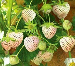 Japanese White Strawberry Seeds Large Sweet Heirloom  20 seeds