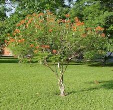 Fast Growing Dwarf Poinciana Tree Seed Pods