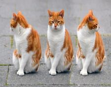 METAL REFRIGERATOR MAGNET Three Orange White Cats Only One Cat Really