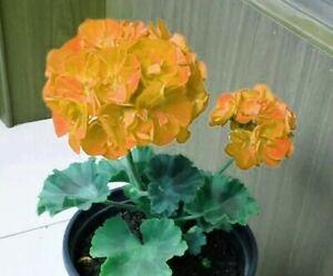 Golden geranium flowers yellow-orange dense globular plants home garden 10 seeds