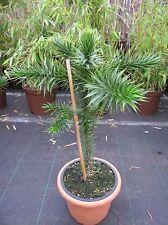 Araucaria araucana 40-50, Andentanne - chilenische Schmucktanne, max. 30-40m h.