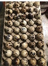 100 Jumbo Coturnix Quail Fresh Fertile Hatching Eggs Npip
