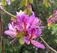 Bauhinia Purpurea, Pink/Purple Orchid Flowering Tree Camel's Foot 10 Seeds, USA