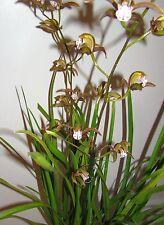 Cymbidium erythraeum Rare Flowering Orchid