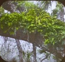 Resurrection Fern, West Season, Magic Lantern Glass Photograph Slide