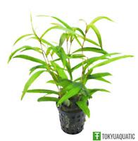 Hygrophila Salicifolia Narrow Leaf Potted Live Aquarium Exotic Plant Freshwater