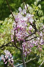 Wisteria 'Floribunda Rosea' / Pink Japanese Wisteria 2-3ft, Fragrant Flowers