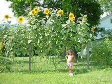 Riesen - Sonnenblume  Sky Scraper - Sunflower - 10+ Samen - Rarität