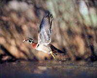 Ducks Flying by Carlos Casamayor Art Print Poster Duck Hunt Wildlife Decor 13x19