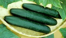 35 STRAIGHT EIGHT CUCUMBER 2018 (all non-gmo heirloom vegetable seeds!)