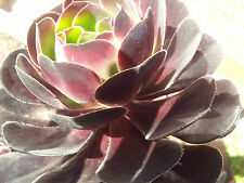 SUCCULENT PLANT CUTTINGS (IRISH ROSE) X 4 ( as shown in picture)