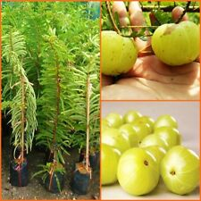 60cm Phyllanthus emblica grafted tree, Indian gooseberry, tropical herb plants