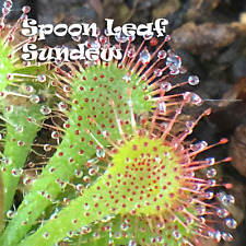"Spoon Leaf Sundew - Drosera Spatulata - 3/4-1"" Potted"