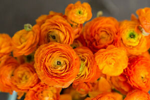 20 Ranunculus Asiaticus ORANGE Summer Flowering Bulbs Garden Perennial Corms