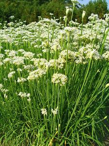 200 Samen Schnittknoblauch Knoblauch Knobi Schnittlauch Allium tuberosum