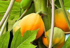New! 10 SEEDS THAI DWARF PAPAYA FRUIT SEED