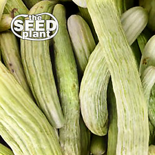 Armenian Cucumber Seeds - 50 SEEDS NON-GMO