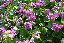 Veilchen 5 Pflanzen weiß lila rosa winterhart Bauerngarten