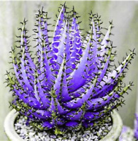 Guarantee Rainbow Aloe Bonsai Mixed Excellent Succulent Plants Aloe Vera 200 pcs