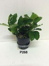 Exotic Live Aquatic Fresh Water Anubias nana long wavy Potted Plant P268