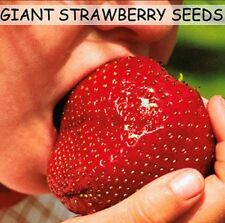 Super Giant Red Strawberry Seeds Maximus  Sized 30 + Uk Stock - BUY 2 GET 1 FREE