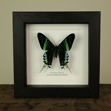 Urania Swallowtail Moth in Box Frame (Urania leilus)  insect taxidermy