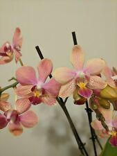 Phalaenopsis Orchid in Spike Medium sz Phal