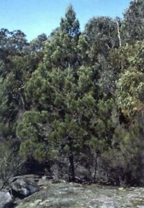 ITALIAN CYPRESS TREE SEEDS ~ Garden Flower Plant  Pine AUS SELLER