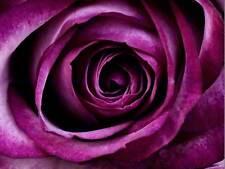 NATURE FLOWER ROSE PURPLE PETAL POSTER ART PRINT HOME PICTURE BB117B