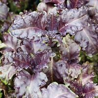 Herb - Basil Purple Ruffles - 500 Seeds