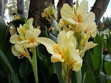 2 x CANNA LILLY PLANTS - SOFT LEMON