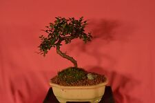 INDOOR BONSAI,CHINESE ELM,8 YEARS OLD,CLASSIC S SHAPE STYLE.