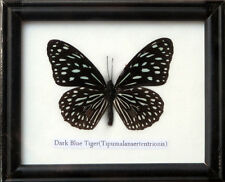 FRAMED REAL BEAUTIFUL DARKBLUE TIGER BUTTERFLY DISPLAY INSECT TAXIDERMY
