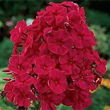 NEW!!  30+ FRAGRANT RED PHLOX FLOWER SEEDS / SHADE PERENNIAL