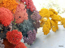 Natural Air Dried Bunch Of Dyed Intermediate Yarrow