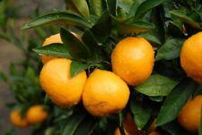 Tangerine Mandarin Citrus Fruit Tree Seeds