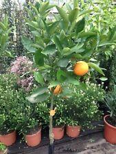 Vanille-Orangenbaum - Citrus sinensis 'Vaniglia'  die Süsseste !