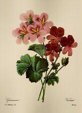 Vintage Pink Geranium Flower Print Redoute Art Botanical Print pjr 2194
