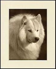 SAMOYED OLD STYLE DOG HEAD STUDY PRINT MOUNTED READY TO FRAME