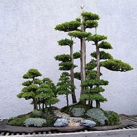 20pcs Japanese White Pine Pinus Parviflora Green Plants Tree Bonsai Seeds YK