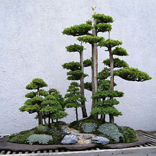 20pcs Japanese White Pine Pinus Parviflora Green Plants Tree Bonsai Seeds YK