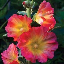 25 Rare Pink Orange Hollyhock Seeds Perennial Giant Flower Garden Plant