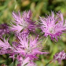 Dianthus- Superbus- Rose- 100  Seeds- BOGO 50% off SALE