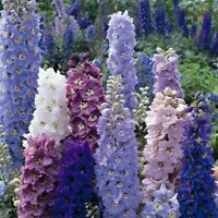 Delphinium - Pacific Giants Round Table Mixed - 50 Seeds